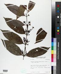 Image of Lacmellea floribunda