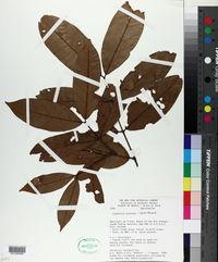 Image of Lacmellea aculeata