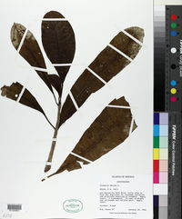 Plumeria obtusa image