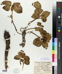 Cycladenia humilis image