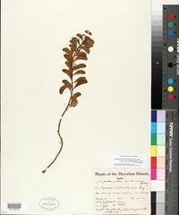 Jacquemontia ovalifolia image