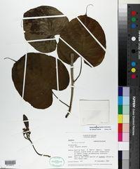 Image of Ipomoea bernoulliana