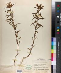 Collomia grandiflora image