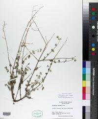 Tiquilia palmeri image