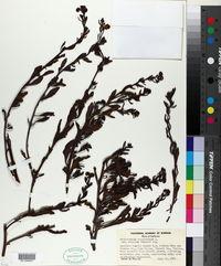 Heliotropium curassavicum var. oculatum image