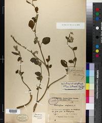 Image of Heliotropium ellipticum