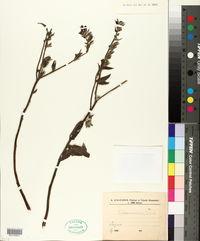 Image of Echium amoenum
