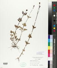 Image of Verbena filicaulis