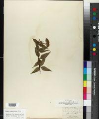 Image of Lantana angustifolia