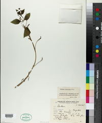 Image of Lantana micrantha