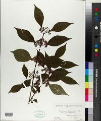 Image of Callicarpa giraldii