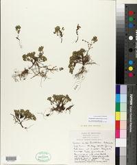 Image of Clinopodium darwinii