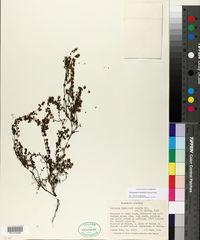 Image of Clinopodium tenellum