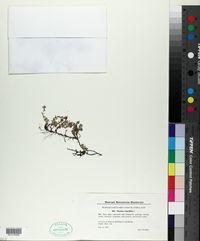 Thymus serpyllum image