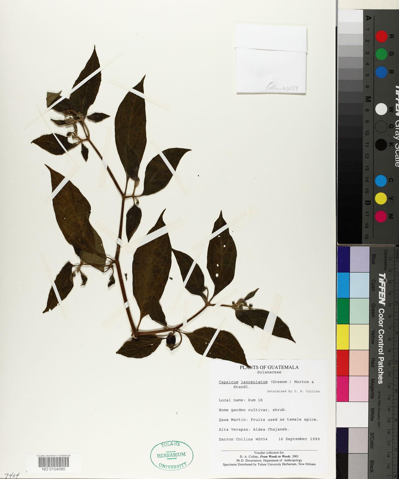 Capsicum lanceolatum image