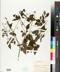 Image of Solanum abitaguense