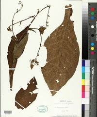 Image of Nicotiana otophora