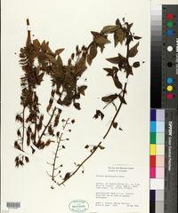 Image of Alonsoa meridionalis