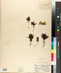Mohavea confertiflora image