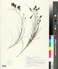 Russelia equisetiformis image