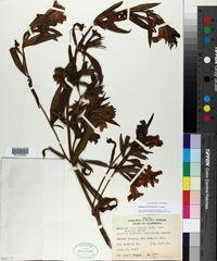 Image of Diplacus linearis