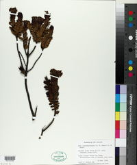 Image of Veronica canterburiensis
