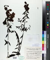 Image of Agalinis genistifolia
