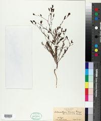 Image of Adenostegia tenuis