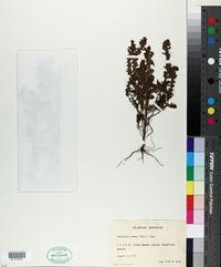 Image of Odontites verna