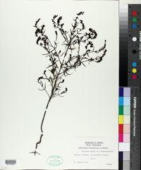 Image of Odontites viscosus