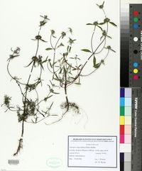 Galeopsis angustifolia image