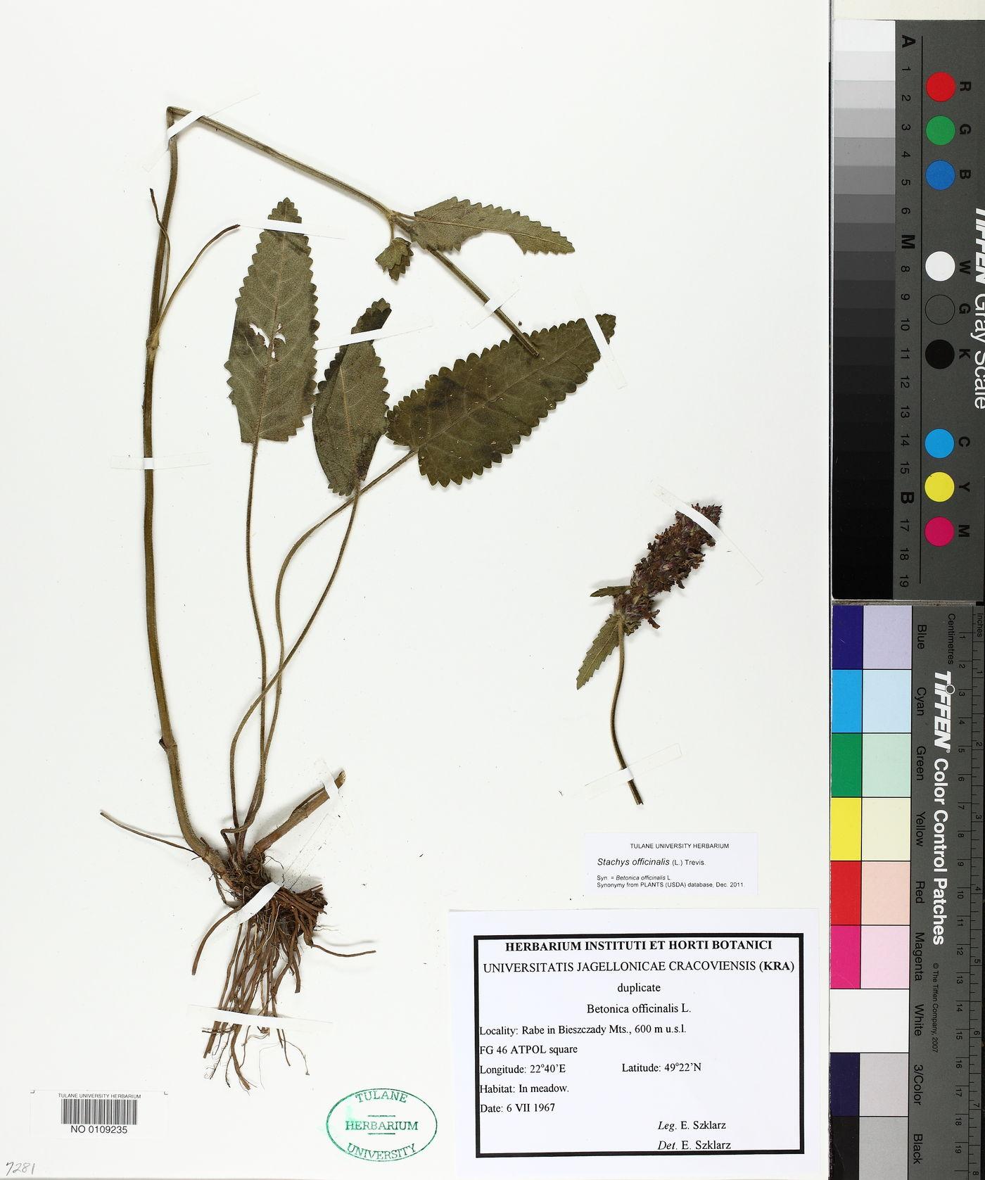 Betonica officinalis image