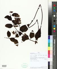 Image of Mikania stuebelii