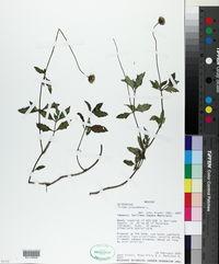 Tridax procumbens image