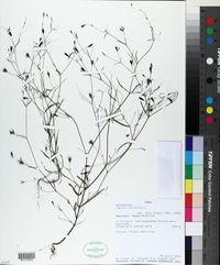 Pectis linifolia image