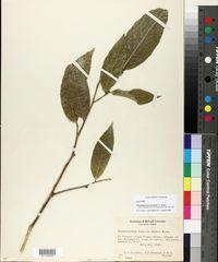 Image of Gloeospermum boreale