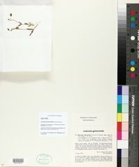 Image of Holosteum breistrofferi