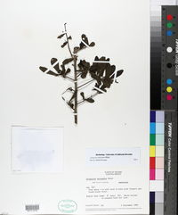 Image of Diospyros anisandra