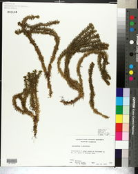 Image of Lycopodium x buttersii