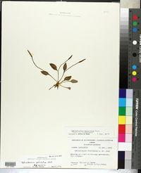 Image of Ophioglossum floridanum