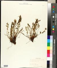 Image of Oxytropis gracilis