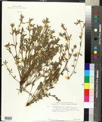 Stylosanthes biflora image