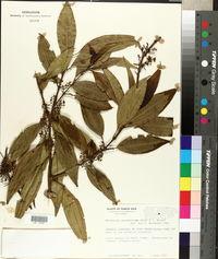 Image of Mecranium amygdalinum