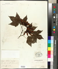 Image of Acer insigne