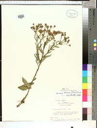 Vernonia texana image
