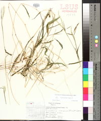Microstegium vimineum image