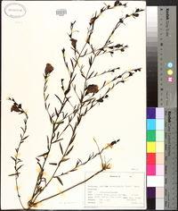 Agalinis heterophylla image