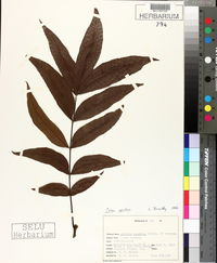 Image of Hicoria aquatica