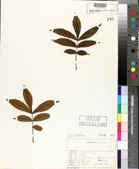 Image of Hicoria cordiformis