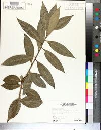 Laurus nobilis image
